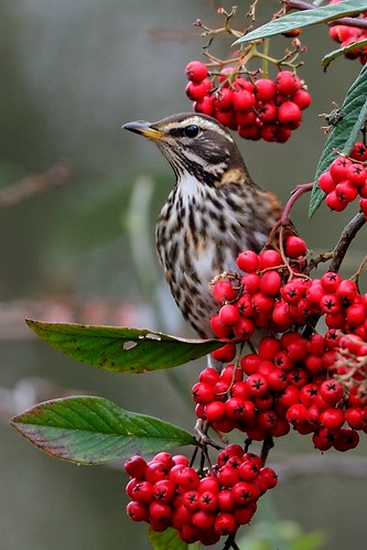 Redwing amongst the berries by Rivertay