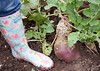 A swede as big as your foot!