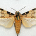 Small photo of Halysidota sp. - Peru
