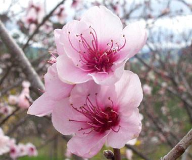 peach blossom branches