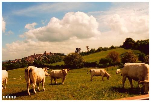 Mes vaches à Vézelay