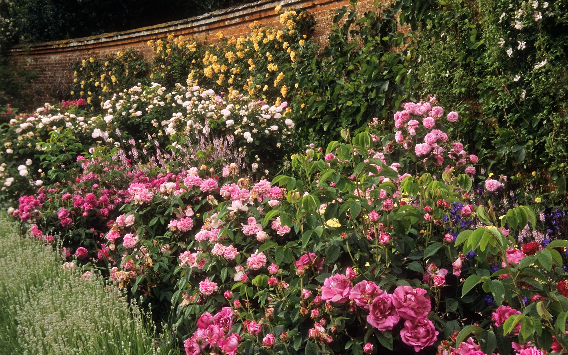 Roses In Garden: Mottisfont Abbey Garden, Hampshire, UK