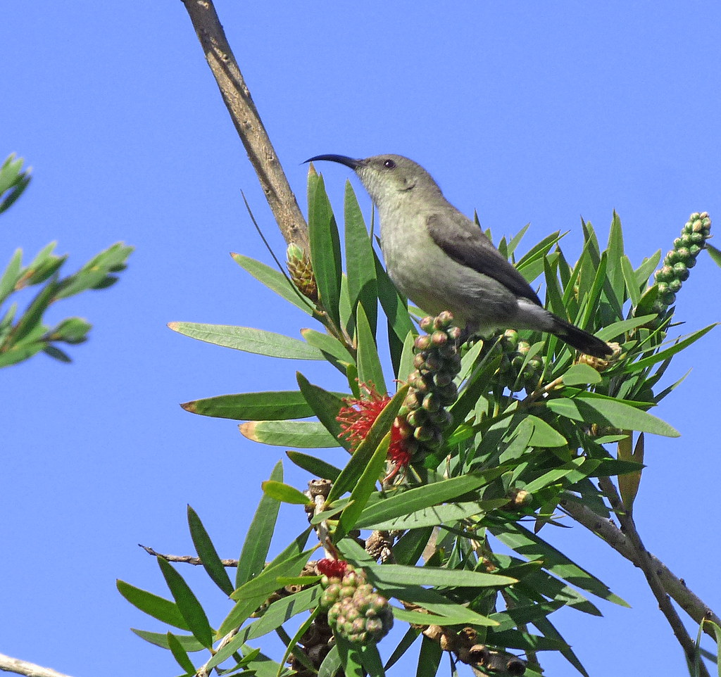 26-01-2012-palestinian-sunbird3