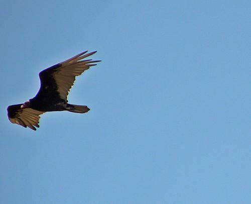 cuervo cabeza negra