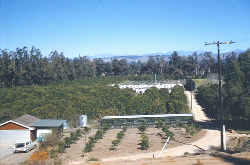 Orange grove, Orange County, 1961 by Orange County Archives