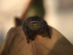 Bold Jumping Spider (Phidippus audax); Mount Rainier, PGC, Maryland; Mar 8, 2016