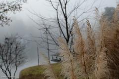 Pampas Grass at Dawn