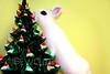 yuki the white bunny is fascinated with the christmas tree