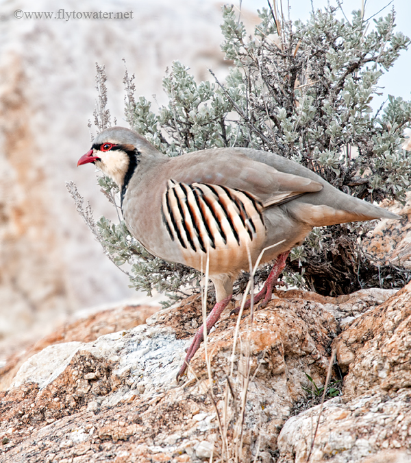 Wild Chukar Partridge & Sage