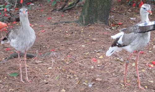 11.26.11 - Tampa Zoo Seriemas