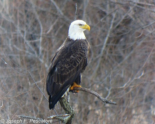 Bald Eagle, Ravine Lake, Far Hills, New Jersey by JFPescatore