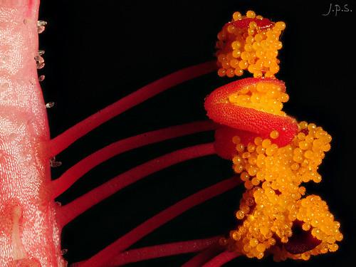 Estambres de Hibiscus rosa-sinensis