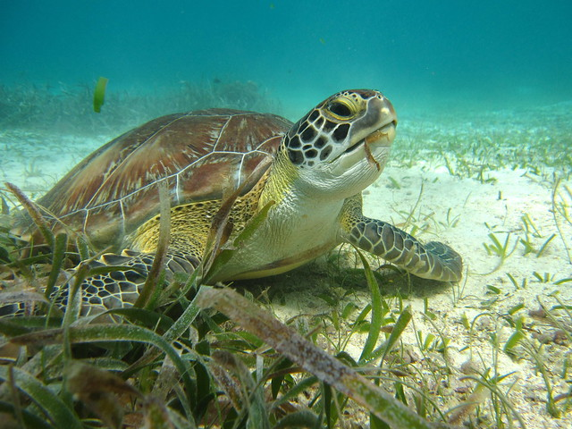 swimming with turtles feeding on sea grass