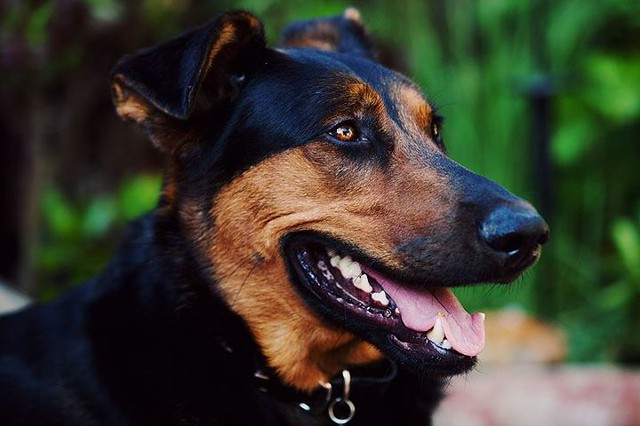 Buck - German Shepherd/Doberman Mix | Flickr - Photo Sharing!