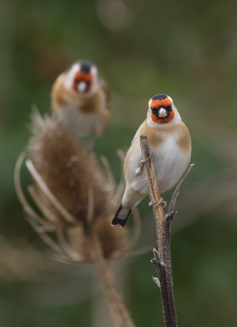 goldfinches cloudy day_