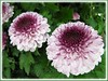 Chrysanthemum hybrid (Mums) with mauve flowers at a garden centre1