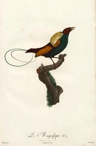 005-El magnifico-Histoire naturelle des Oiseaux de paradis et des Rolliers.. 1806-François Levaillant