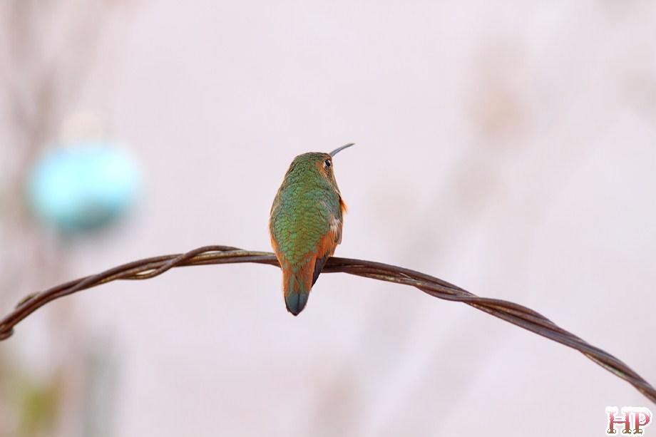 Allen's Hummingbird 122312-10