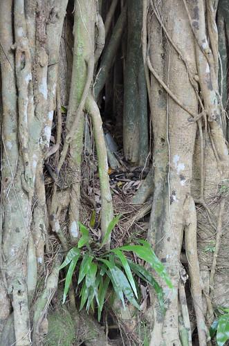 Ficus Kurzii
