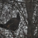 Wild Turkey in Tree
