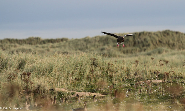 Pink-Footed Goose on the Dunes