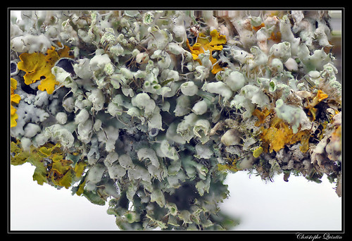 Physcia adscendens (Focus stacking)