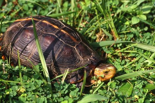 中國崛起壯大後,因食、藥以及寵物市場需求叫價高,使得隨手抓來毫不費力的食蛇龜逐漸消失於台灣的原棲地。(攝影:林德恩)