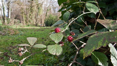 France, blackberries in January