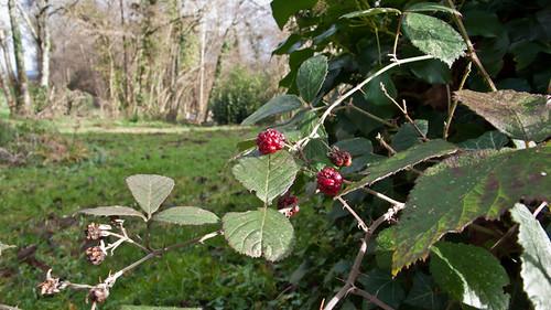France, blackberries in January
