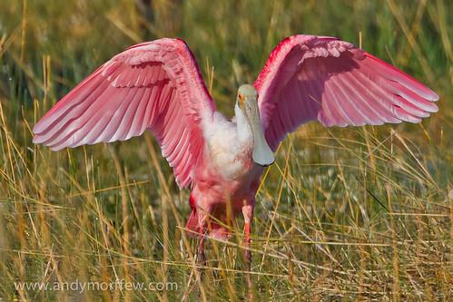 bird florida roseatespoonbill marshtrail avianexcellence birdperfect 10000islandsnwr andymorffew morffew