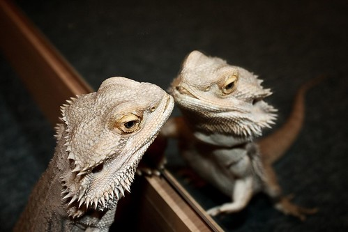 Bearded dragon's reflection. Agama is looking at herself in the mirror ♡