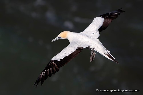 New Zealand - gannet in flight  #2