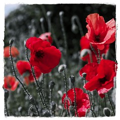 """Through the dancing poppies stole A breeze most softly lulling to my soul."" John Keats"