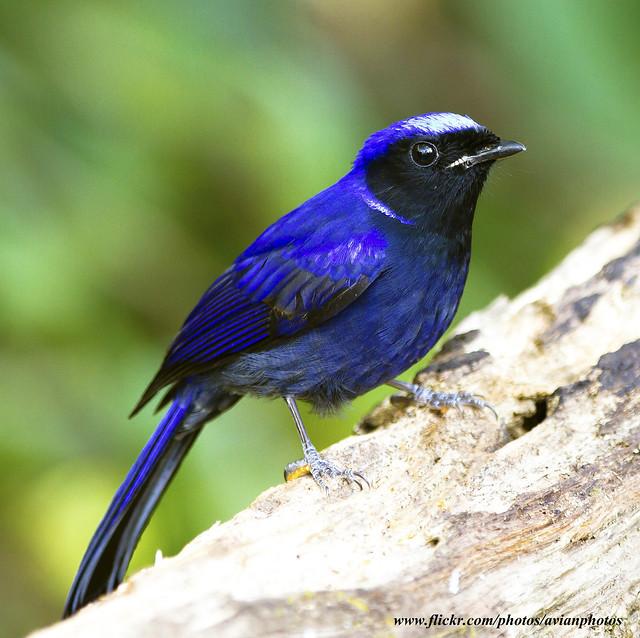 Large Niltava bird photo call and song/ Niltava grandis (Chaã¯taris grandis)