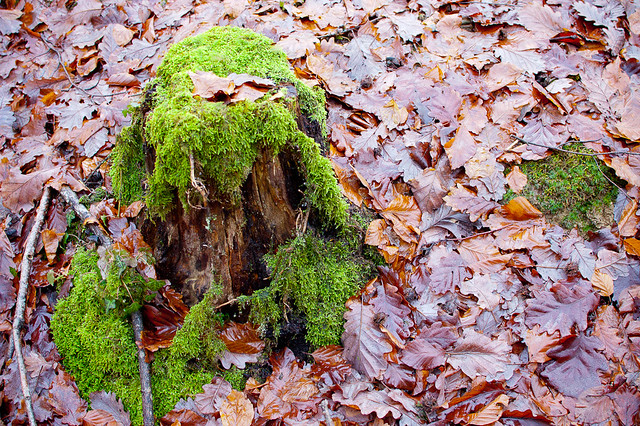 The Mossy Stump