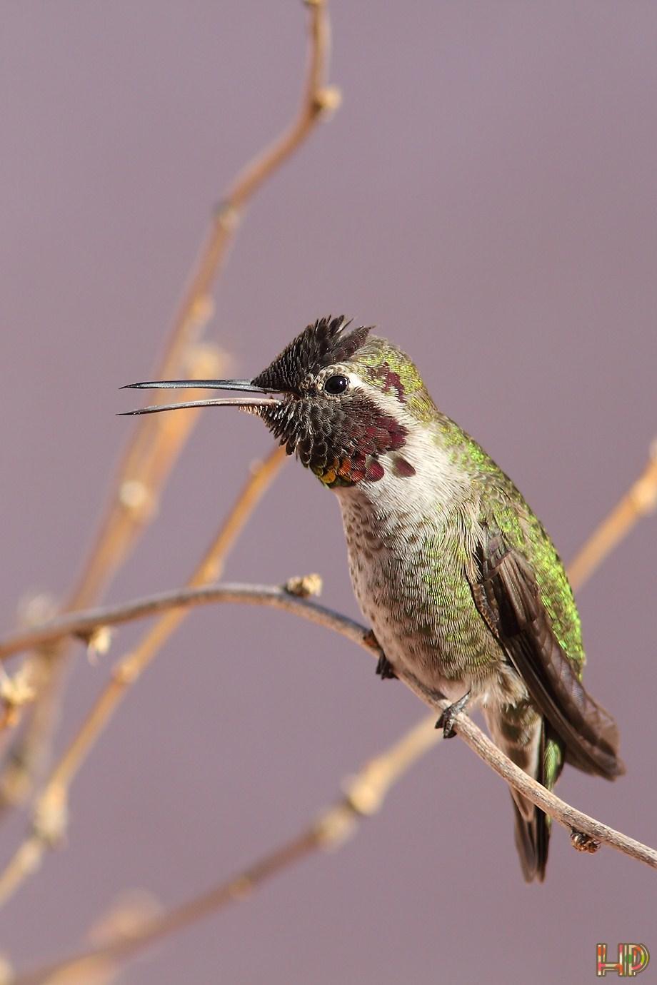 Anna's Hummingbird 012012