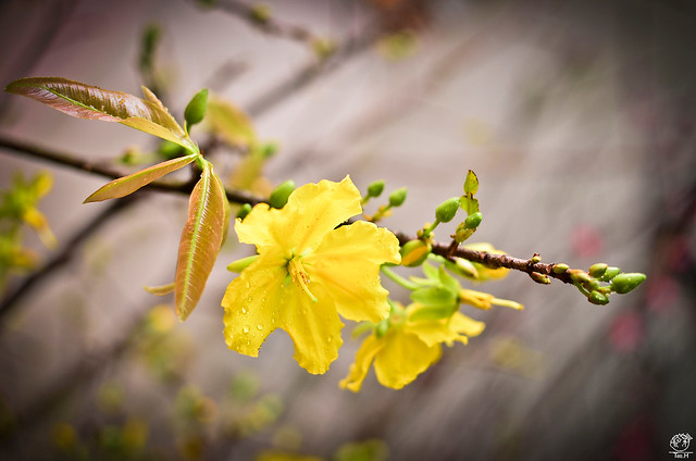 Traditional Vietnamese flower for Lunar New Year | Flickr ...