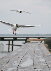 seagull 2 fly down