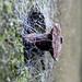 Small photo of Amaurobius similis web - West St Leonards