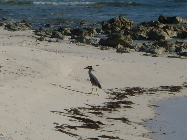 Header of yellow-crowned night heron
