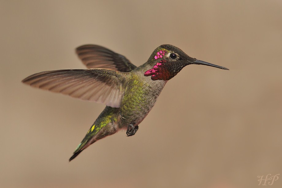 Anna's Hummingbird012712