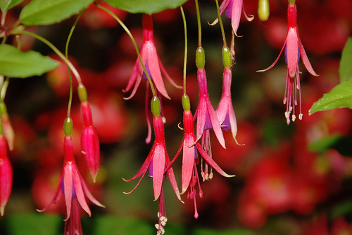 A Few Fuchsia by John M. Kennedy