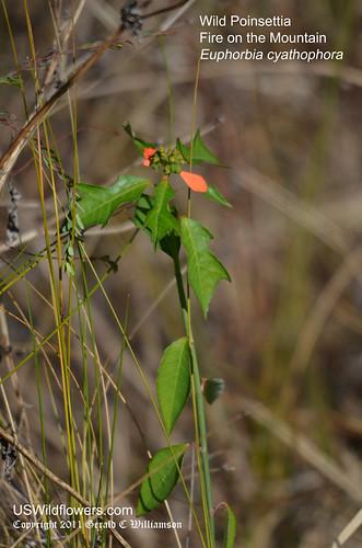 Wild Poinsettia, Fire on the Mountain, Painted Euphorbia, Desert Poinsettia - Euphorbia cyathophorar