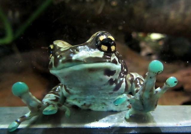amazon milk frog   Flickr - Photo Sharing!