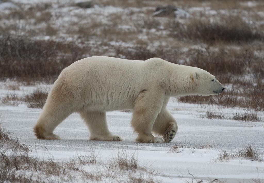Polar bear, Churchill, Canada.