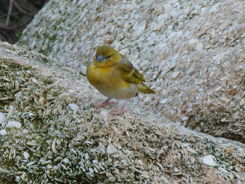 26-01-2012-yellow-warble2