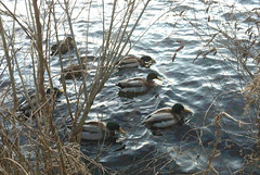 Ducks (Digitally Edited and Posterized) by randubnick