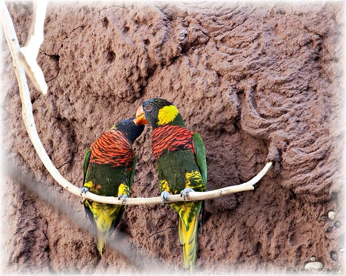 mated pair of larakeets by cmichaelflees