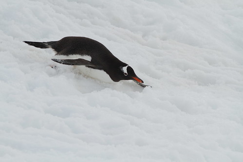 Gentoo penguin sliding down in Paradise Bay, Antarctic Peninsula. Nov 2011 by Ulrikke57