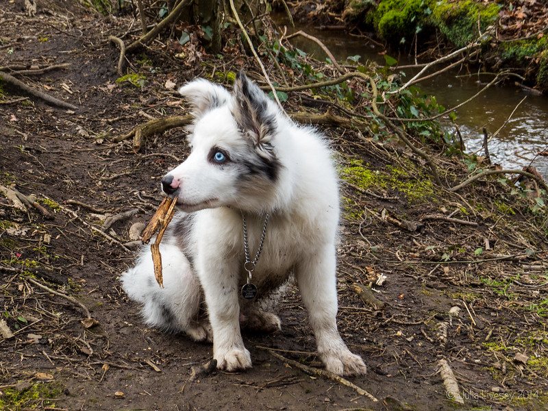 Buddy chewing his stick